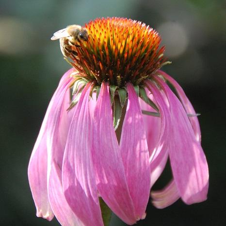 Biene-auf-Echinacea